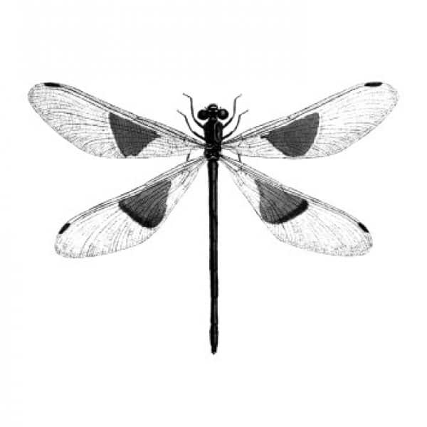 'Spotted Dragonfly' Art Print mounted in a Black frame. By Vanilla Fly of Denmark
